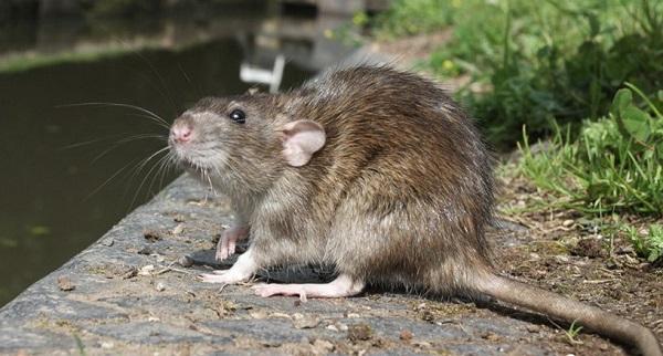main_hero-img-rodent-borne