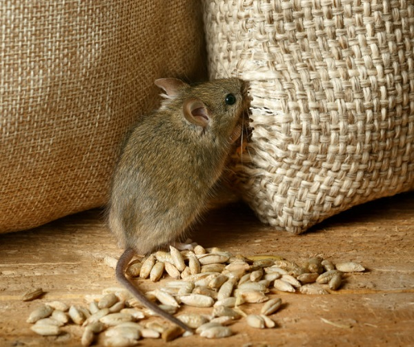 roedores-1